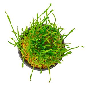 Figureform-Basenkapseln-Weizengras